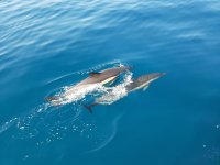 Delfines nadando en paralelo en Benalmádena