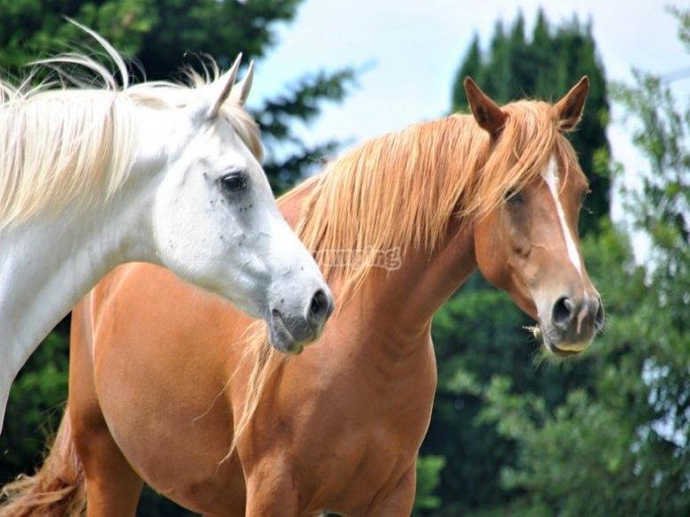 两匹马的头