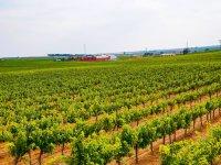 Our vineyards near the farm