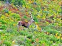 Ciervo en su habitat