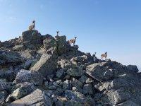 在山顶的一些好奇的山羊