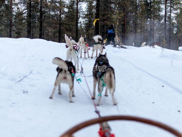 dog sledge and huskies
