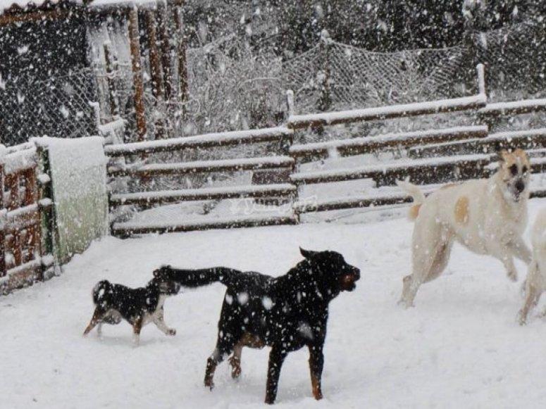perros disfrutando en la nieve.