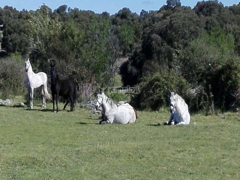 Caballos tumbados en el campo
