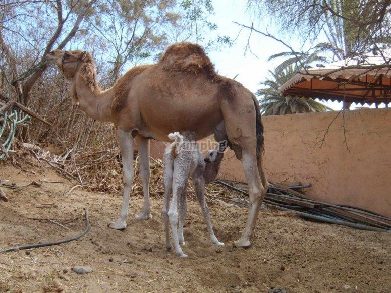cria de camellos