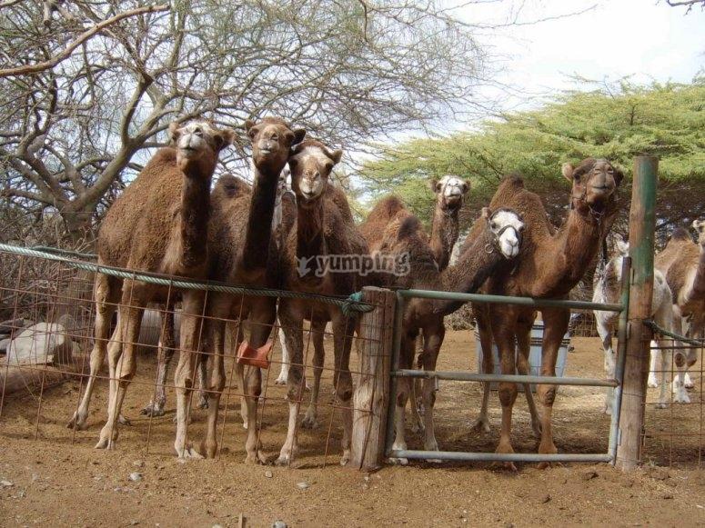 nuestros camellos