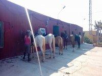Preparando a los caballos para la clase