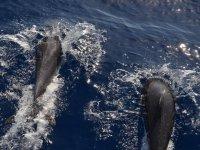 在游艇旁游泳的海豚