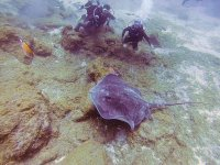 Scuba diving with rays