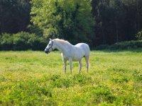 Caballo blanco en el prado