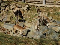 Family of wild goats