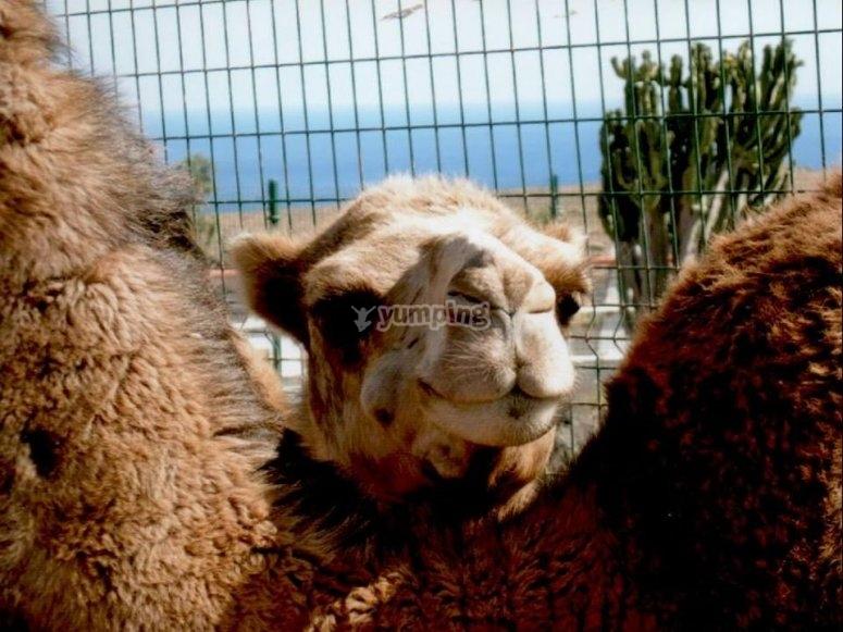 Camello asomando