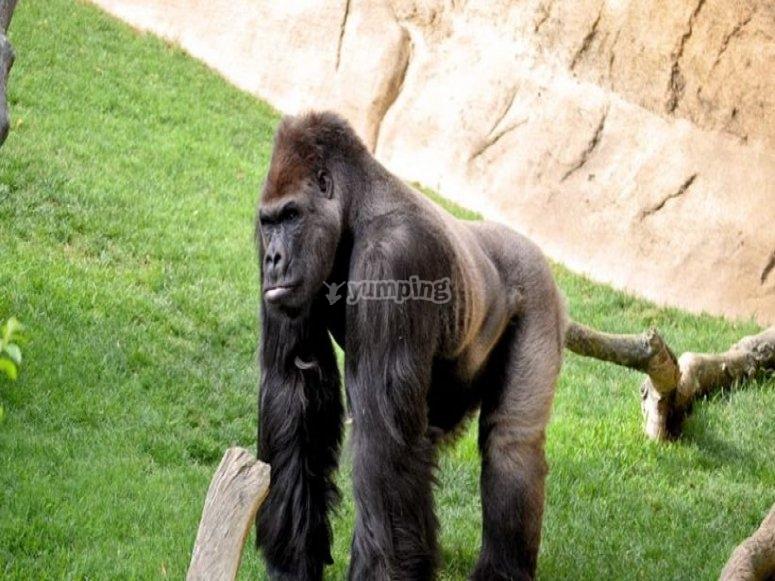 Gorilla tra l'erba