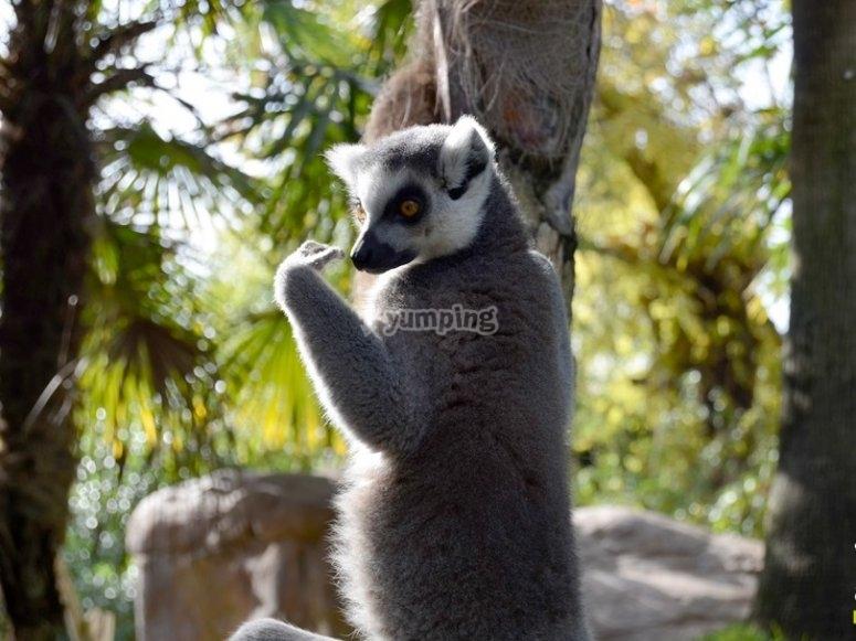 Lemure nell'albero