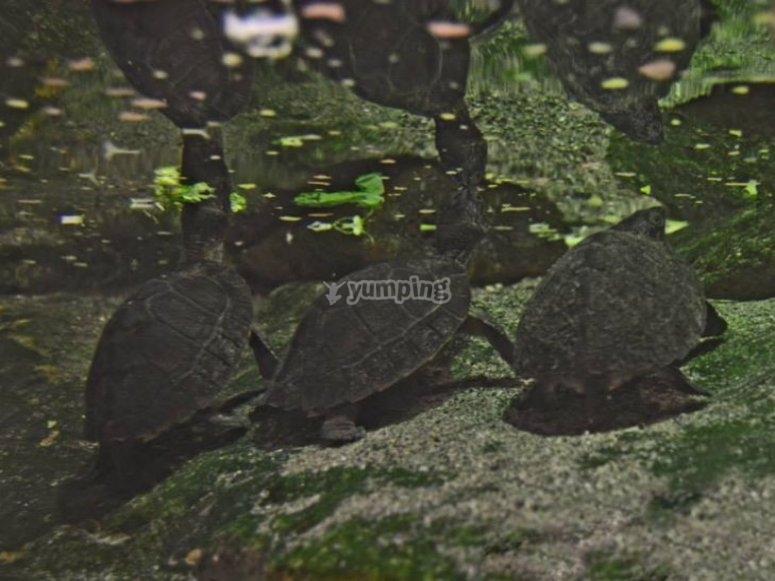 Tre tartarughe giganti