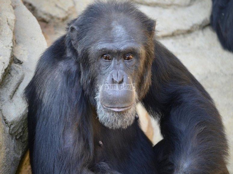 Uno dei bonobo