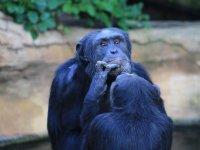 Bonobo che giocano