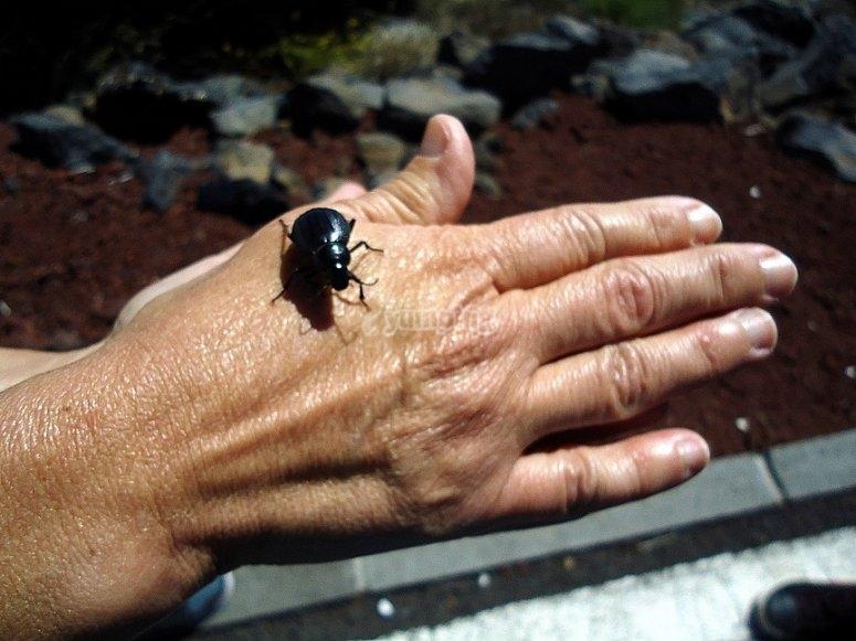 Escarabajo en Tenerife