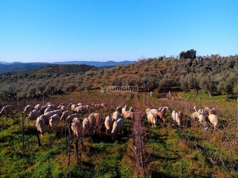 田野中的绵羊
