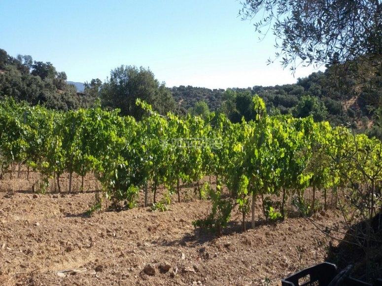 酿酒厂的葡萄园