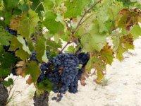 cepa y uva
