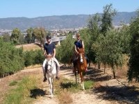 On the horses between olive trees