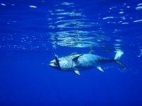 Pescando atunes