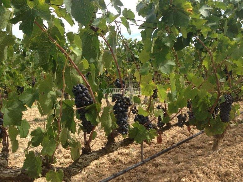 葡萄藤上的葡萄