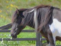 Paseo en pony para los niños en Las Rozas