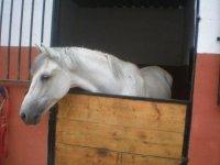 caballo blanco en su cuadra