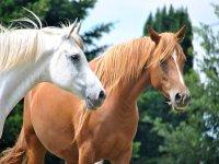 caballo blanco y caballo marron