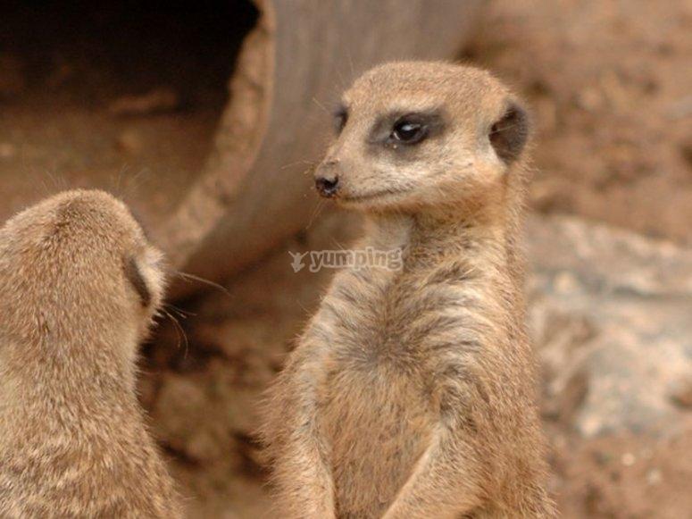 The meerkats, always peeping!