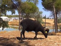 Cabra alimentándose de paja