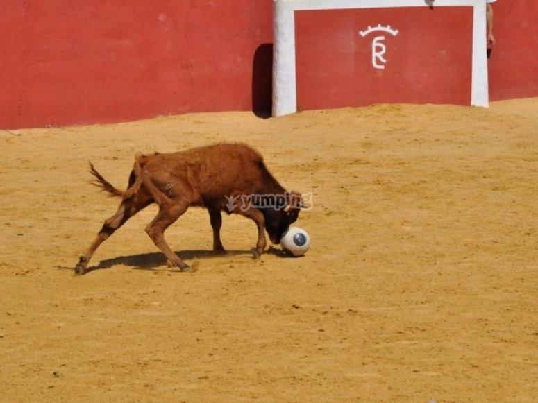 Vaca corneando el balon