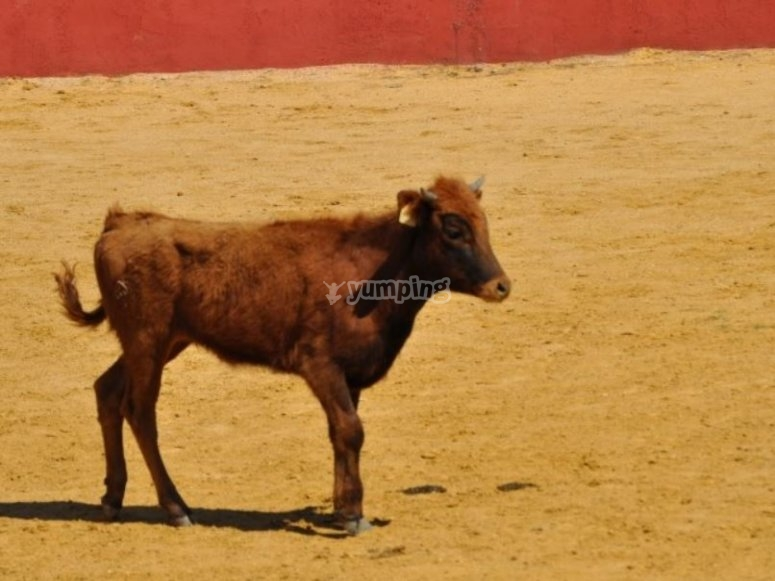 Vaca de pelo rojizo