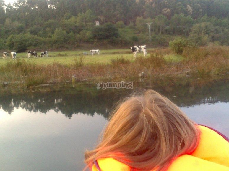 船上的奶牛