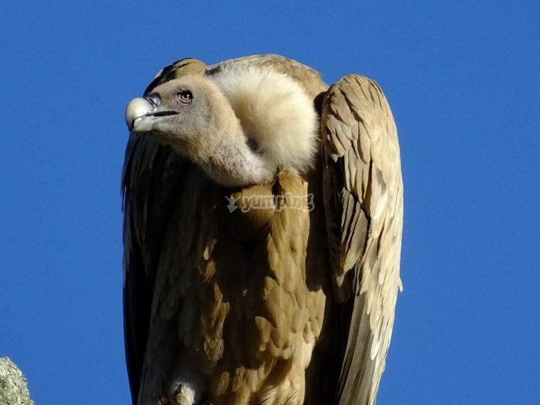 Buitre leonado