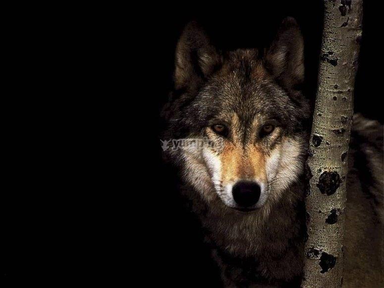 avistamiento de lobo