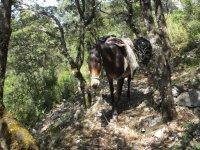 Mula en el bosque durante el viaje.JPG