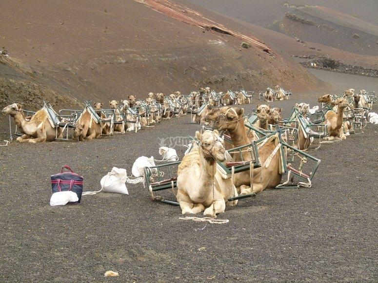 Monta a camello