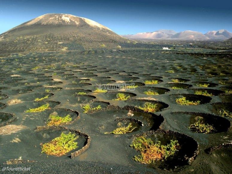 viñedos y volcanes La Geria