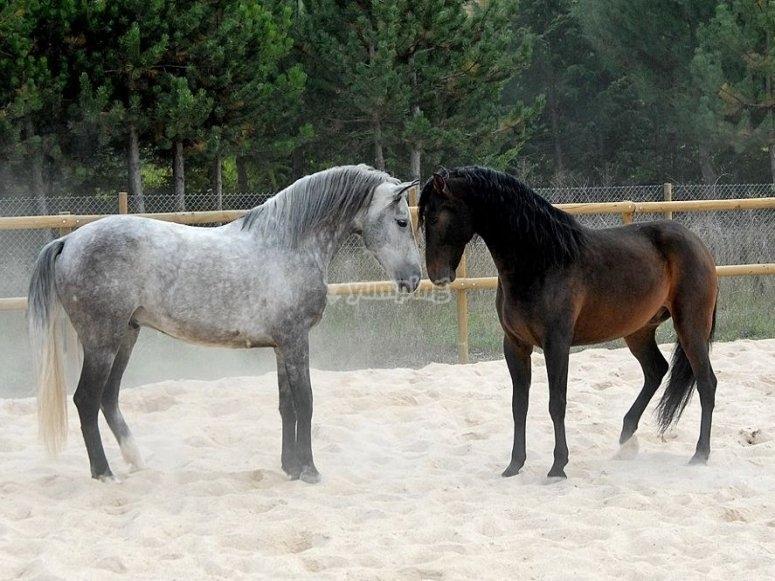 Dos estupendos caballos en nuestro picadero