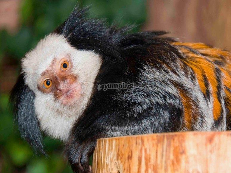 Primates titi