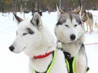 Mushing dogs
