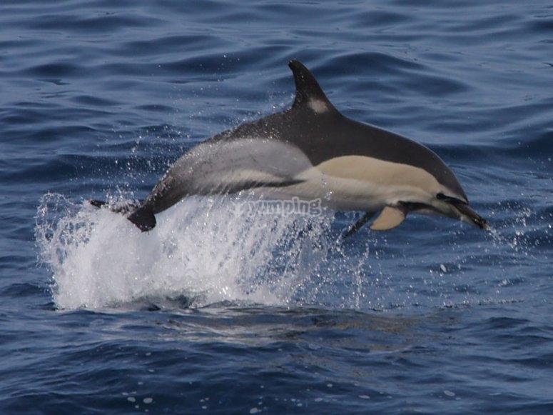 海豚在戈梅拉游泳