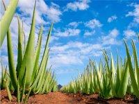 Gran plantaciones de Aloe Vera