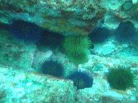 erizos de mar