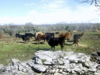 Vacas de lidia