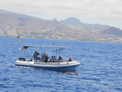 参观特内里费岛海岸的鲸鱼和海豚