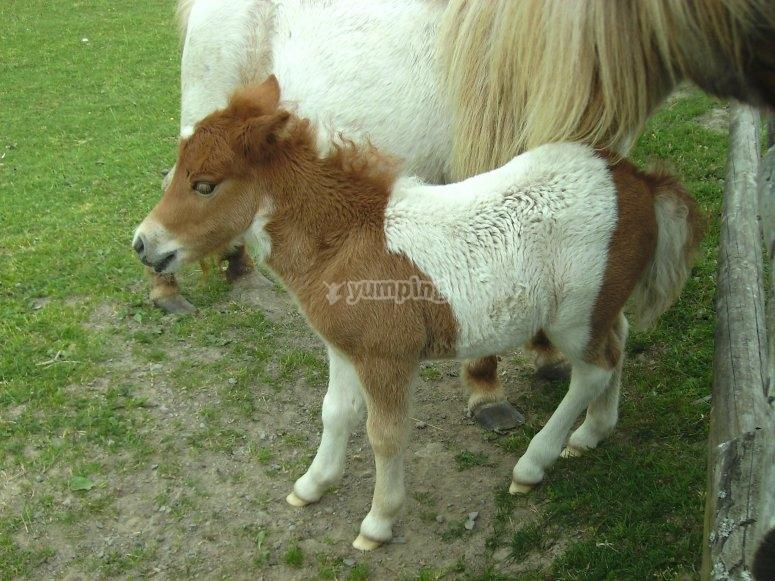 Potzberg pony